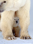 Polar bear and cub, Cape Churchill, Manitoba, Canada
