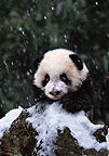 Panda cub in the snow, Sichuan, China
