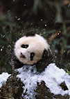 Baby panda shaking off snow, Sichuan, China