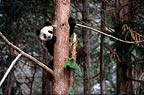 Giant panda climbing a tree, Sichuan, China