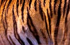 Close-up of Siberian tiger skin on living tiger