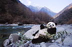 Giant panda beside the river, Sichuan, China