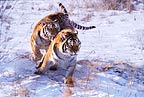 Siberian tigers in the snow, China
