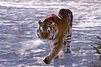 Siberian Tiger on the prowl, China