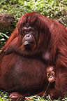 Mother and baby Orangutans, Sumatra.