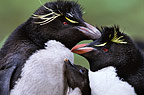 Rockhopper penguin parents and chick, New Island, Falkland Islands