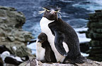 Rockhopper penguin parent and chick, New Island, Falkland Islands