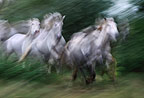 Herd of Camargue horses running, France