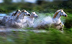 Camargue horses running, France