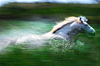 Camargue horse running through water, France