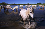 Camargue horses in the marsh, France