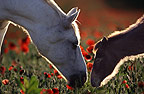 White Camargue horse with brown foal in a field of wild poppies, France