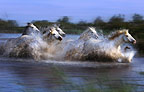 Camargue horses running through the marsh, France