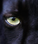 Eye of a black panther (captive)