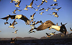 Seagulls in flight, False Bay, South Africa.