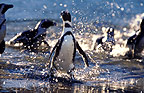 Jackass Penguins, False Bay, South Africa.