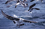 Sea Birds, False Bay, South Africa
