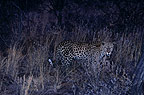 African leopard at night, Namibia