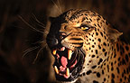 Snarling African leopard, Namibia