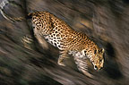 African leopard climbing down from a tree, Namibia