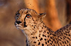 Cheetah with flies buzzing around head, Namibia