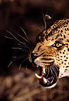African leopard snarling, Namibia