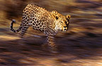 African leopard walking, Namibia