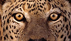 African leopards eyes, Namibia