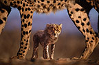 Cheetah mother and cub, Namibia