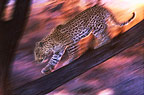 African leopard, Namibia