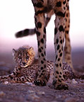 Cheetah mother and cubs, Namibia
