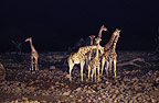 Giraffes at night, Etosha National Park, Namibia