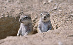 Ground squirrels, Etosha National Park, Namibia