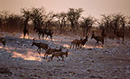 Red hartebeest at sunset, Etosha National Park, Namibia