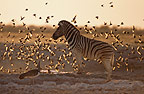Burchell's zebrawith birds at the waterhole, Etosha National Park, Namibia