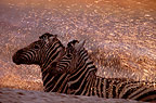 Zebras splashing in the waterhole, Etosha National Park, Namibia