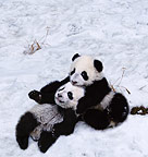 Pandas in the snow, Sichuan, China