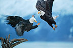 Bald Eagles Fighting, Alaska