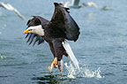 Bald eagle catching salmon, Alaska