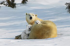 Polar Bear mother with young cubs, Manitoba,  Canada.