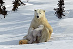 Polar Bear mother nursing young cubs, Manitoba,  Canada.
