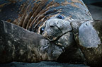Elephant seals, Hannah Point, Antarctica