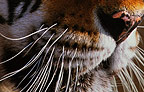 Mouth and nose of Siberian Tiger