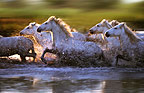 Camargue horses running through the water, France