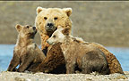 Brown bear mother and cubs, Katmai National Park, Alaska.