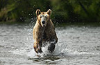Brown Bear running through water, Katmai National Park, Alaska