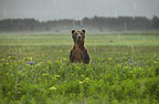 Brown Bear standing in the rain, Katmai National Park, Alaska