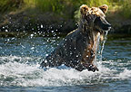 Brown Bear fishing, Katmai National Park, Alaska