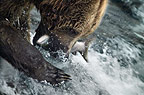 Brown Bear catching sockeye salmon, Brooks Falls, Alaska