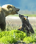 Brown Bear mother and cub, Katmai National Park, Alaska